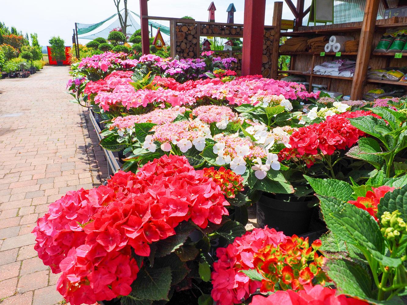Hortensien kapraun pflanzencenter und individuelle for Gartengestaltung mit buchs und hortensien
